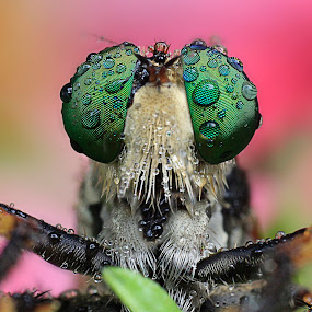 Robber Fly Full Colour after rain by Miswar Rasyid - Animals Insects & Spiders ( macro, close up, robber fly )