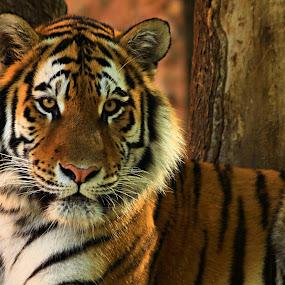 Big Boy by Jen Millard - Animals Lions, Tigers & Big Cats ( wild, predator, face, cat, tiger, animal )