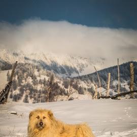 Sheepdog by Gavenea Sorin - Animals - Dogs Portraits ( sheepdog, sonyc, mountains, winter, dogs, anials, beautiful, romania, landscapes, portraits, transylvania, brasov )