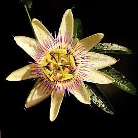 The star by Gérard CHATENET - Flowers Single Flower