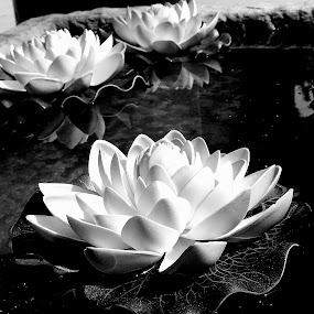 water lillies by Rebecca Pollard - Flowers Flowers in the Wild (  )