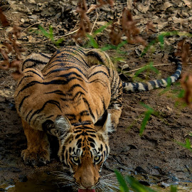 Quenching the Thirst by Naveen Joyous - Animals Lions, Tigers & Big Cats ( drinking, nature, tiger, quenching, wildlife,  )