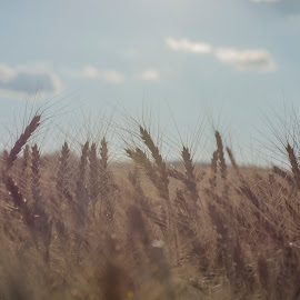 Wheat by Andrei Peleanu - Landscapes Travel ( wheat field, clouds, whwat, cer, sun )