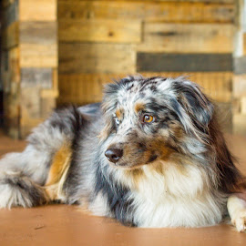 lounging by Meaghan Browning - Animals - Dogs Portraits ( laying, australian shepherd, mini, multicolored, aussie )