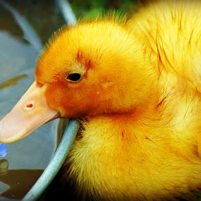 Ducky Drink! by Teresa Delcambre - Animals Birds ( water, duckling, pool, drink, duck, beak )