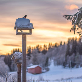 Little birds by Stian Krane - Public Holidays Christmas ( snow, christmas, trees, birds, sun )