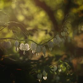 Individual by Nancy Merolle - Digital Art Things ( heart, individual, white, bleeding heart, spring )