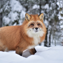 Red fox in snow by Kristin Smestad - Animals Other ( rev, winter, red, fox, norway )