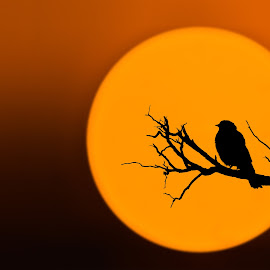 Bird at sunset by Bess Hamiti - Animals Birds ( shadow lifestyle, silhouette, sea, relaxation, landscape, sunlight, relaxing, birds, bird, nature, tree, blue, sunset, sunny, background, summer, timing, black )