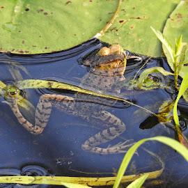 by Gerard Hildebrandt - Animals Amphibians