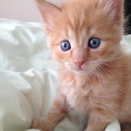 Georgie at 5 weeks old by Amanda Morris - Animals - Cats Kittens ( #bottle_fed_kitten, #big_blue_eyes, #sweet_baby, #rescuekitten, #orangekitten )