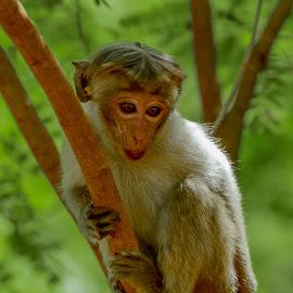 Vigilant Eye by Achala Gamage - Animals Other ( achala photography, sri lanka, monkey, animal )