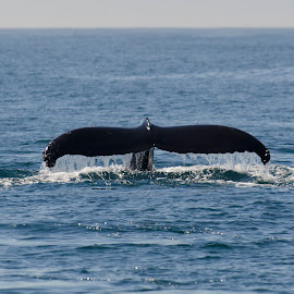 Tail Back by Helen Mathias - Animals Sea Creatures ( humpback, monterey, california, dive, fluke, whale, usa )