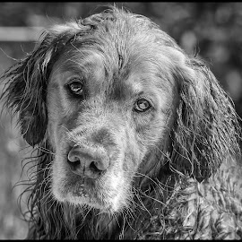 Marley by Dave Lipchen - Black & White Animals ( dog )