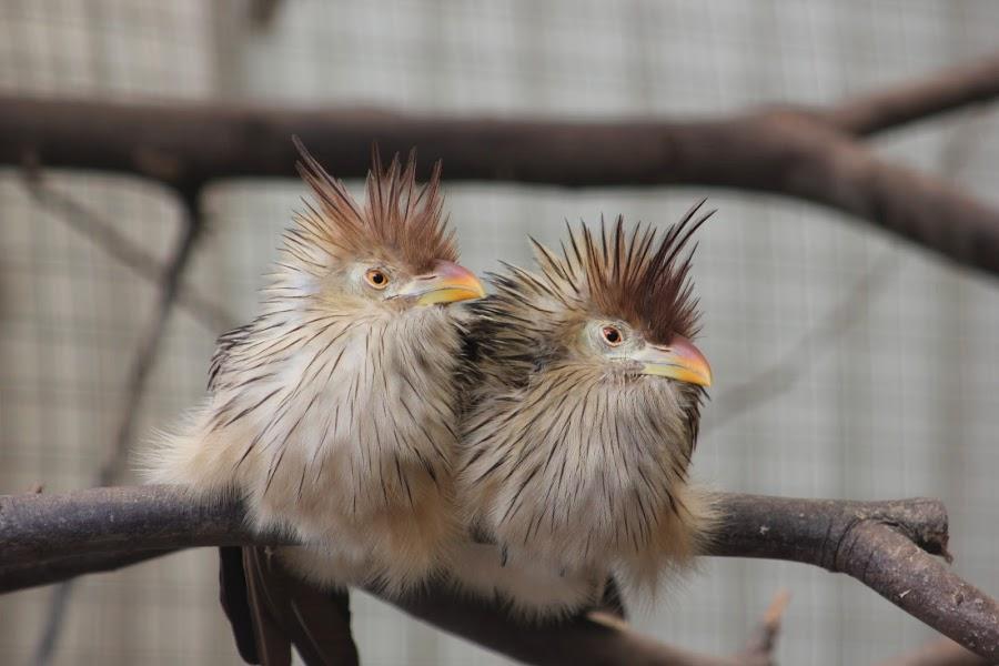 Mates by Pierre de Villiers - Novices Only Wildlife ( nature, beaks, wildlife, birds, eyes,  )