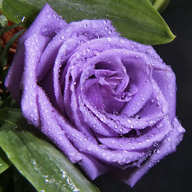Purple Rose by Dave Walters - Flowers Single Flower ( macro, nature, colors, flowers, lumix fz2500, Christmas, card, Santa, Santa Claus, holiday, holidays, season, Advent )