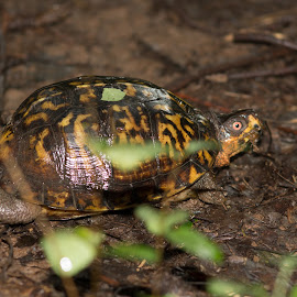 turle in the woods by Petrina Grimes - Animals Reptiles ( green, leaves, red eye, woods, turtle,  )