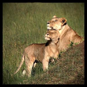 lion lurve.pixo.jpg
