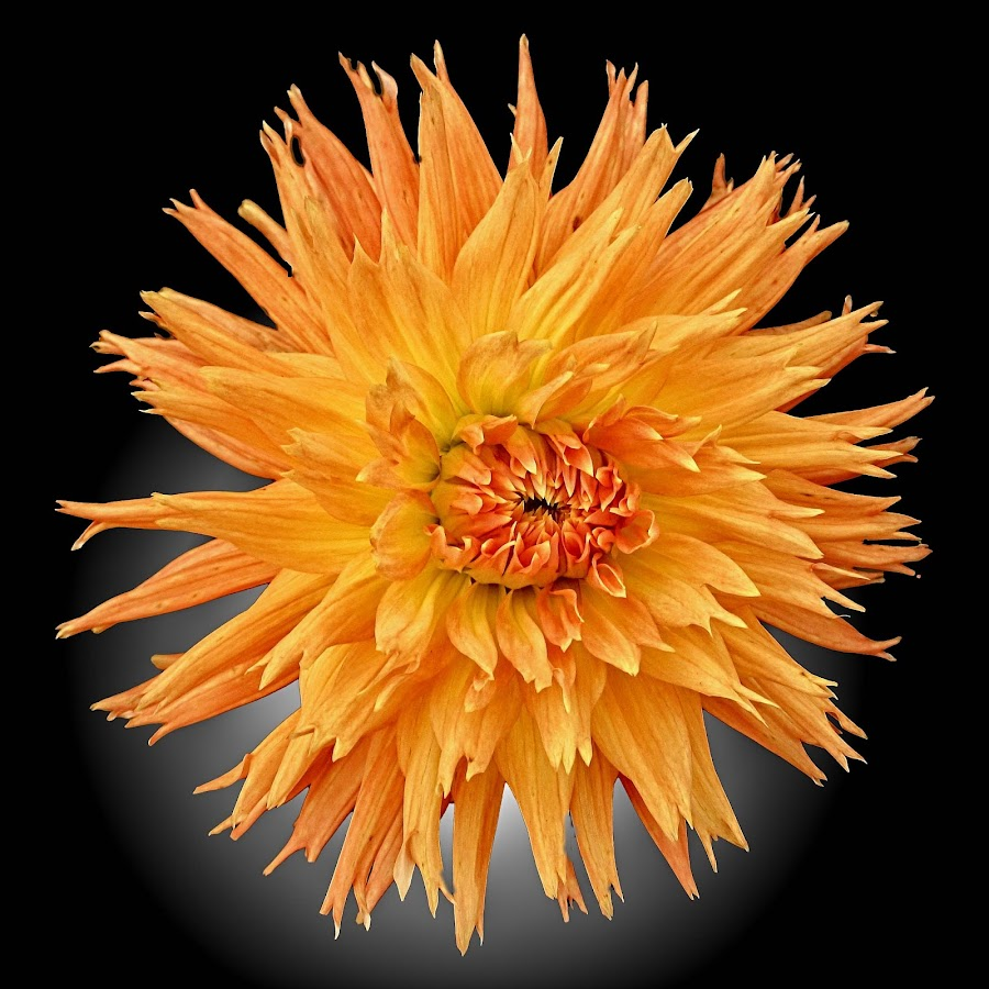 AYLI dahlia 66 17 by Michael Moore - Flowers Single Flower (  )