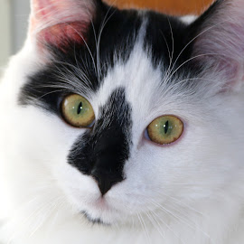 Baxtor by Julia Van Klinken Myers - Animals - Cats Portraits ( black and white cat, cat, tomcat, white, green eyes, feline )