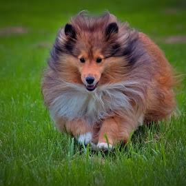 Hurry, Hurry! by Sue Delia - Animals - Dogs Running ( collie, shetland sheepdog, dog, sheltie, running )