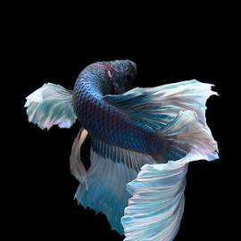Betta fish splendens by Kurit Afsheen - Animals Fish ( macro, moving, blue, fish, aquarium, beautiful )