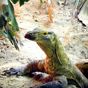 Komodo Dragon by JenWil   - Animals Reptiles