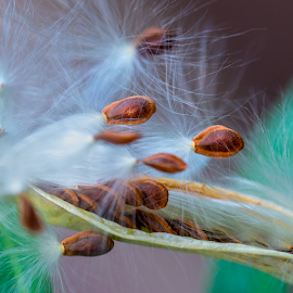 by Judy Rosanno - Nature Up Close Other Natural Objects ( milkweed seeds )