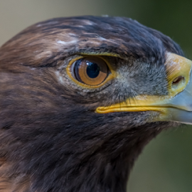 Golden Eagle by Keith Sutherland - Animals Birds ( golden eagle )