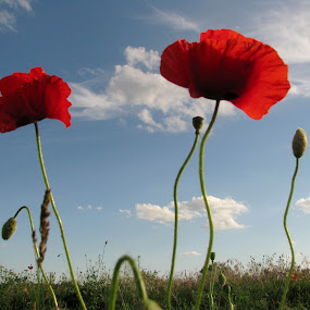 *** by Adriana Petcu - Nature Up Close Flowers - 2011-2013 ( red, sky, nature, cloud, poppy, flower )