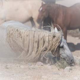 Dust in the Dawn by Susan Ward - Animals Horses ( horse and dust, mustang, wild horse, horse, horse roll )