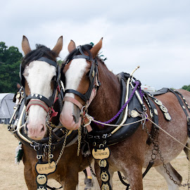Heavy horses by Perry Laithwaite - Animals Horses