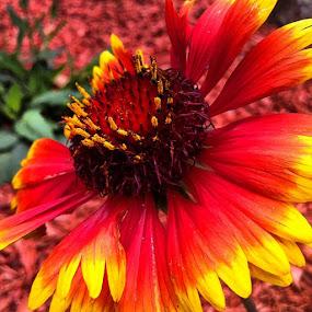 Arizona Sun Blanketflower by Briana Jones - Instagram & Mobile Instagram
