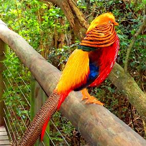 colorful chicken by Nicole Janse van Vuuren - Novices Only Wildlife