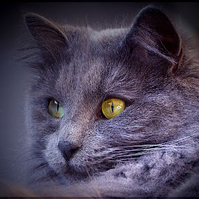 Vienna by Jenny Gandert - Animals - Cats Portraits ( huge, cat, sweet, fluffy, gray )