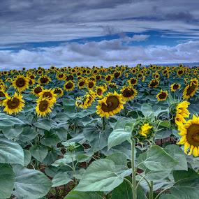 Sunflowers by Stratos Lales - Flowers Flowers in the Wild ( field, greece, sunflower, flowers, drama )