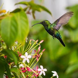 perfect flight by Bea Welsh - Animals Birds ( colour, staint lucia, bird, flight, colourful, green, wings, hummingbird, nectar, beak, small, flower, animal )