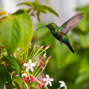 perfect flight by Bea Welsh - Animals Birds ( colour, staint lucia, bird, flight, colourful, green, wings, hummingbird, nectar, beak, small, flower, animal,  )