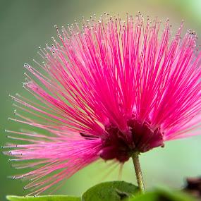 Calliandra by Saptarshi Datta - Flowers Single Flower ( single, nature, pink, garden, flower )