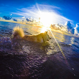 Chasing Rays by Mike Whitehead - Animals - Dogs Playing ( water, playing, blue sky, dogs, pets, ocean, sunrise, beach,  )