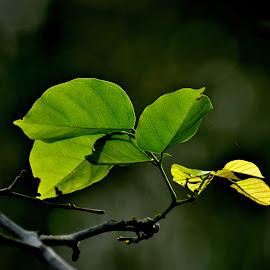 Backlit leaves. by Govindarajan Raghavan - Nature Up Close Leaves & Grasses (  )