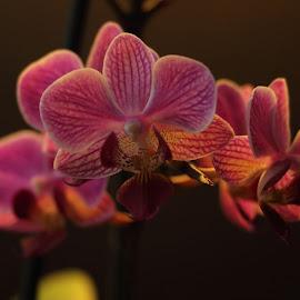 Eksperiment No. 1 by Per Holt Oksen-Larsen - Novices Only Flowers & Plants ( orkide, no.1, light, eksperiment, flower )