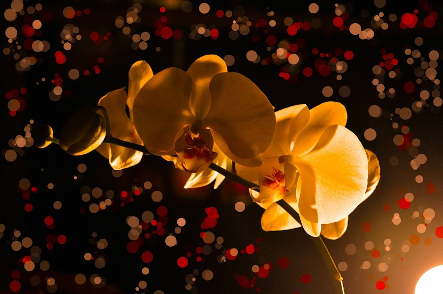 Orchid  by Sawyer Jones Photography  - Nature Up Close Flowers - 2011-2013 ( plant, for sale, orchid, nature, dark, lamp, yellow, bokeh, light, portrait, print )