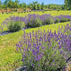 Lavender Farm in Bloom by Judy Florio - Landscapes Prairies, Meadows & Fields ( blooming, field, grass, farm, lavender, landscape )
