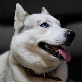 Mia the Hysky by Mike Mills - Animals - Dogs Portraits ( animals, white, siberian, cute, hairy, fluffy, blue, husky, puppy, dog, smile, black, eye )