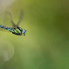 Aeshna cyanea by Helmut Gloor - Animals Insects & Spiders ( canon, macro, edellibelle, blaugrüne mosaikjungfer, libelle, schafisheim, wildlife, switzerland, insect, dragonfly )