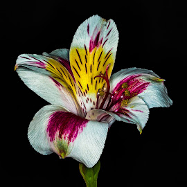 Peruvian lily  by Colin Chalkley - Flowers Single Flower ( peruvian lily, lily, lily of the incas )