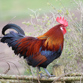 Rooster by Per Holt Oksen-Larsen - Novices Only Wildlife ( fence, side, wildlife, rooster, photography )