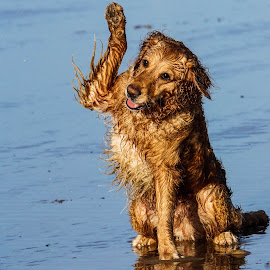 by Sue Lascelles - Animals - Dogs Playing