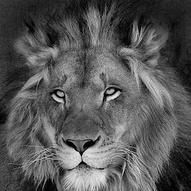 Young Prince B&W by Shawn Thomas - Black & White Animals